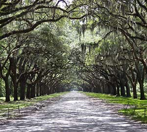 Savannah Attraction: Live Oak