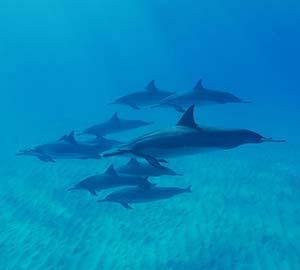 Waikiki Beach Attraction: Dolphins